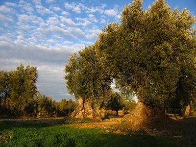 Trazabilidad en producción de aceite de oliva